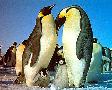 Antarctic Penguins in 3D
