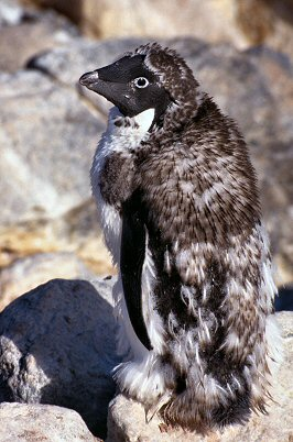 [AdelieFeathering.jpg] Adelie penguin moulting in autumn.