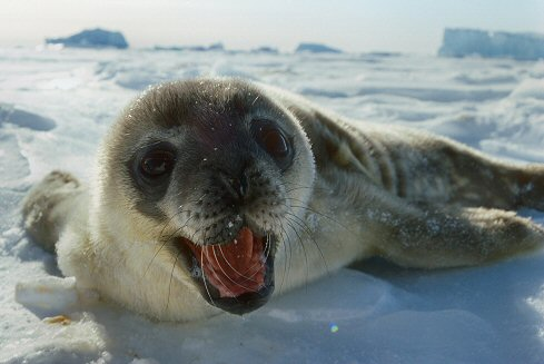 [BabySeal.jpg] Baby Weddell seal scared off by the camera.