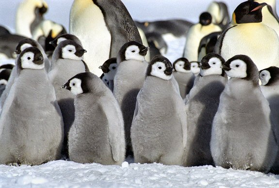 Adopt a Penguin with the WWF