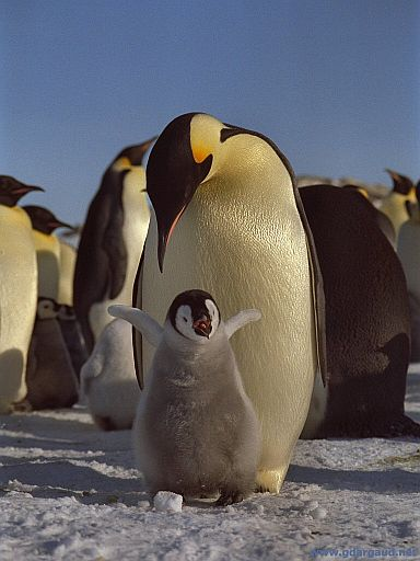 Emperor chick requesting his dinner. Hear the call of a female emperor penguin.