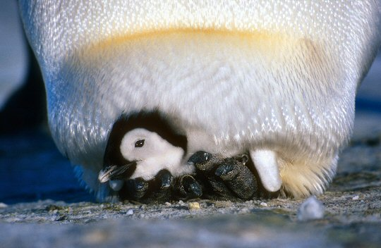 The penguin faq emperorchickpouchg a emperor chick resting comfortably under its parents pouch solutioingenieria Gallery