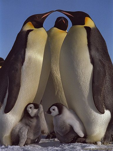 [EmperorsWithChicks.jpg] A perfectly classic shot of a perfect bird. My only two regrets: I lost the original negative of this image and I didn't take nearly enough images of emperor penguins during my first winterover, only a few ridiculous rolls.