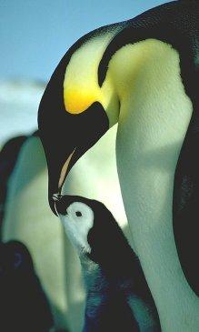 Antarctic Penguins Adelie And Emperor