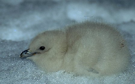 [SkuaChick.jpg] Skua chick resting on ice.