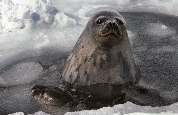 http://www.gdargaud.net/Antarctica/Life/WaterSeals.jpg