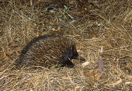 [Echidnea.jpg] A spiny echidna, a cousin of the platypus. Those strange animals form the monotreme class and they lay eggs while still being considered mammals.