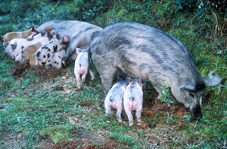 [Corsica_WildPiglets.jpg] Wild pigs and piglets in the Corsican forest.