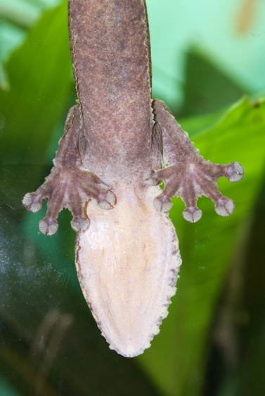 [20080929_132058_Gecko.jpg] The feet and belly of a gecko as seen through a glass window. Those critters are extremely annoying when you are a climber struggling up a wall and they run past you effortlessly.