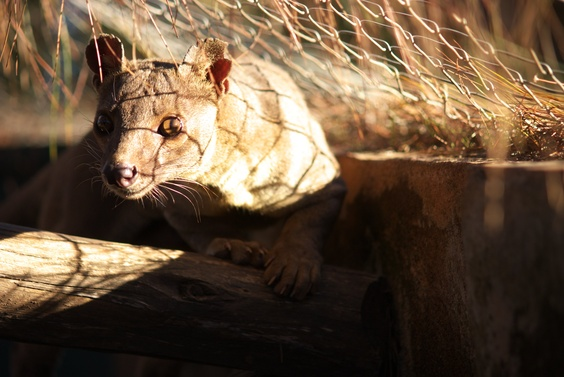 [20080929_144018_Fossa.jpg] An endangered fossa, the largest native predator of the Madagascar. Similar to a small leopard, it's indeed closer to a mongoose.