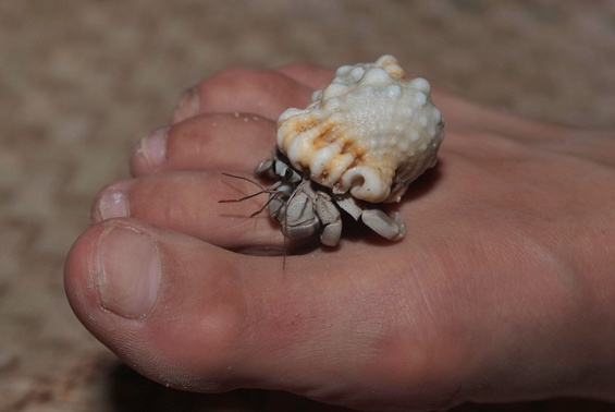 [20081005_195648_HermitCrab_.jpg] Playing footsy with a hermit crab.
