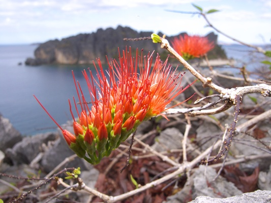 [20081006_150827_FireFlower.jpg] A strange toothbrush-like flower growing on the summit of the island.