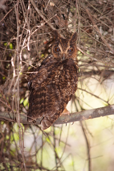 [20081010_130543_EagleOwl.jpg] An owl trying to ignore us and continue its night.