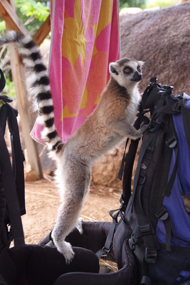 [20081013_150402_RingTailLemur.jpg] A ring-tailed lemur checking out my pack. We immediately noticed its nasty habit of wiping its butt on everything handy. And then it bit me.