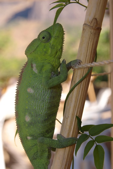 [20081016_151027_Cameleon.jpg] Yet another Chameleon.