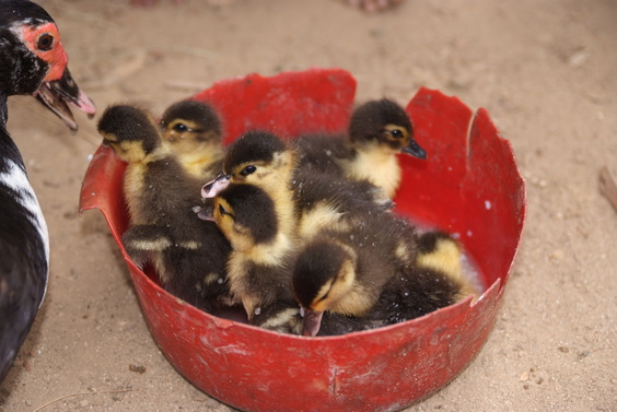 [20081024_145258_Ducklings.jpg] Ducklings taking a bath in their food bowl back in the village.