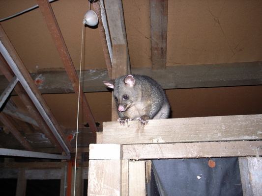 [20051221_0225_Opposum.jpg] A hungry possum looking at our meal preparation inside a hut in the Darren mountains, NZ.