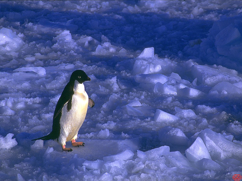 Emperor Penguin With Chicks Snow Hill Antarctica On The