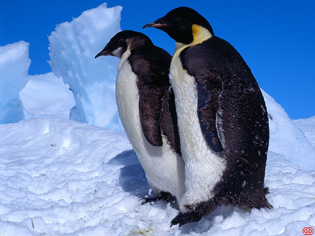 Penguins picture