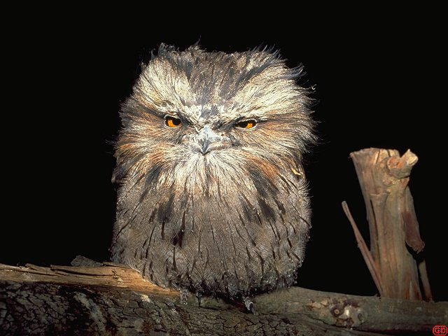 [BigMouth.jpg] A tawney frogmouth showing off all its contempt at being woken up.