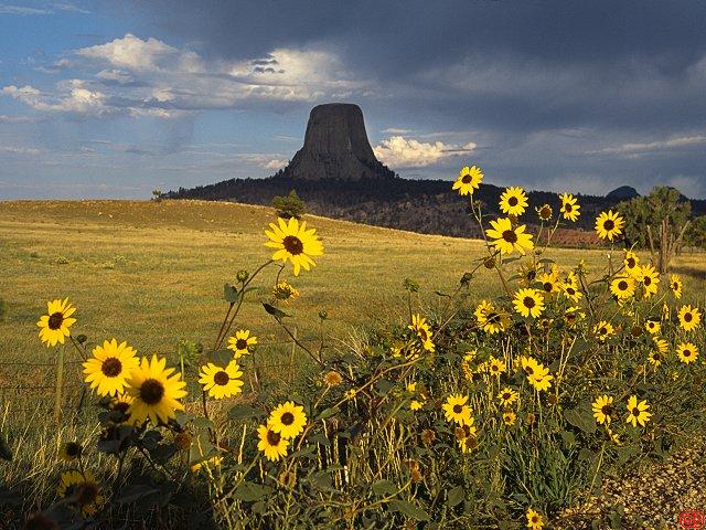 sunflowers wallpaper. US climbing wallpapers