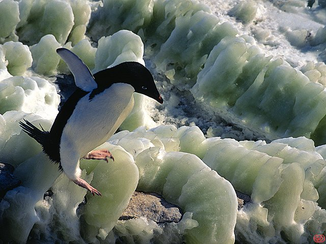 [GreenIce.jpg] An adelie penguin precariously balanced on ice filled with the wastes of generations of its friends.