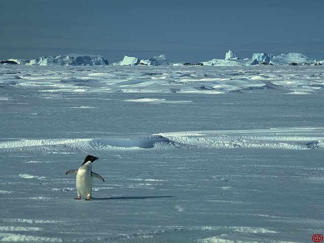 [LonePenguin.jpg] One of the earliest Adelie penguins to arrive in spring, while there is still sea-ice. The first ones gather all the pebbles they can find to build their nests. They can end up with a pile 50cm high ! Those who come later just steal from their pile, usually while the owner is fighting another thieve on the other side. Sound effect: adult adelie penguin.