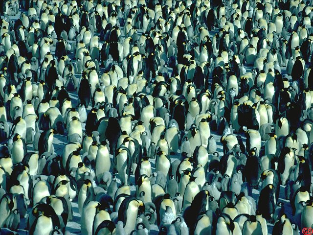 [ManyEmperors.jpg] When the temperature is high, the penguins spread over the ice but always remain near each other. There are about 3000 breeding pairs in DdU's rookery, most of them with a chick. They are noisy and smelly !. Sound effect: male emperor penguin.