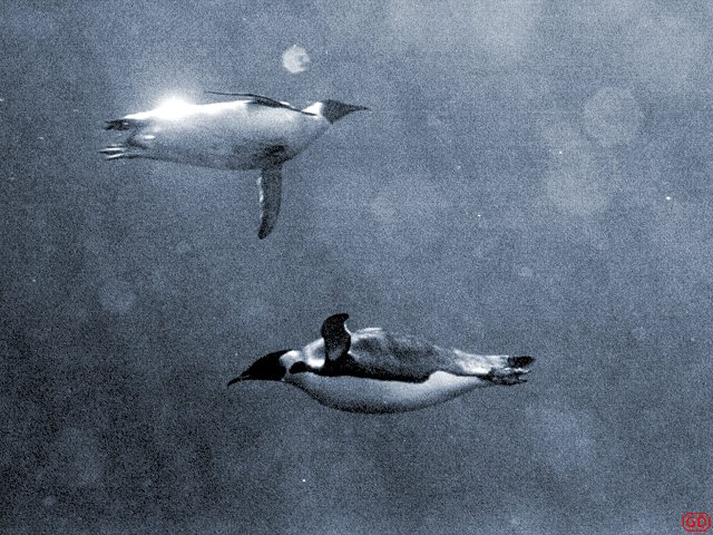 [WaterPenguins.jpg] Underwater photography results in 'everything blue' syndromes. Either you use special color film that are hard to find, or you take macro-photography with the flash so the distance doesn't have the time to act or you use B&W. Here two emperor penguins in the frigid waters of Antarctica. (Colorized image).
