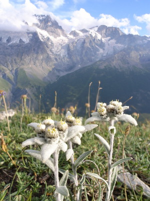 [Image: 20060730-Edelweiss4-Combine.jpg]