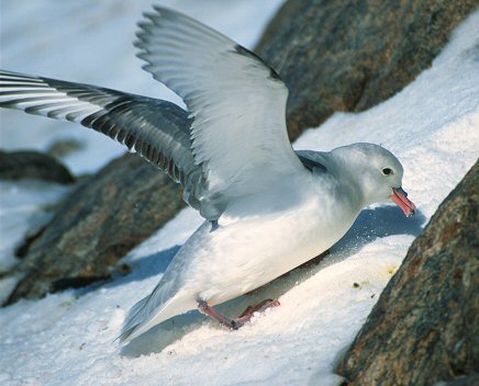 [FulmarCleanNest.jpg] Antarctic Fulmar cleaning the snow off its nest in spring.