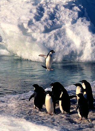 Antarctic Penguins (Adelie and Emperor)