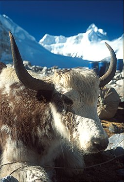[Yak.jpg] Yaks used to carry loads up Himalayan mountains.