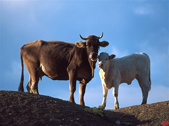 [Cows.jpg] Cow and calf in Appenines, central italy.