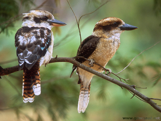 [Kookaburas.jpg] Australian Kookaburras after spending the morning screaming their lungs out to wake us up. A regular and unwelcome alarm clock, unless you want to start climbing at 5am in order to avoid most of the heat of the day.