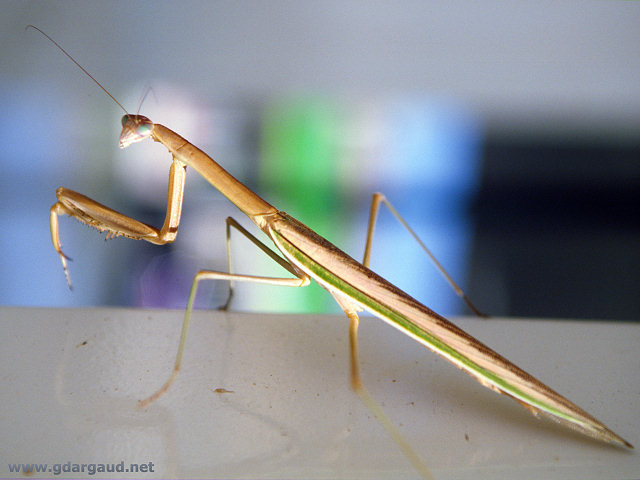 [PrayingMantis.jpg] Praying Mantis in Australia.