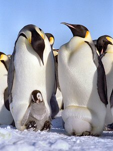 [Emperor146.jpg] Emperor penguins showing off their chicks in various positions.